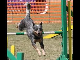 australian shepherd 60 minutes australian cattle dog history personality health care youtube