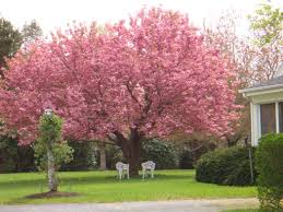 we several kwanzan cherry trees in our yard our favorite