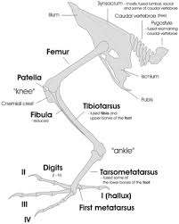 Skeletal Picture Of Foot Bird Feet And Legs Wikipedia