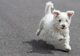 bichon frise dog pictures bichon frise training bichon frise puppies