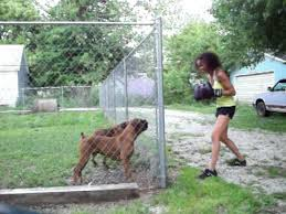 boxer dog in boxing gloves boxing a boxer dog may 30 2011 youtube