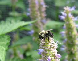 native plants in maryland native bees