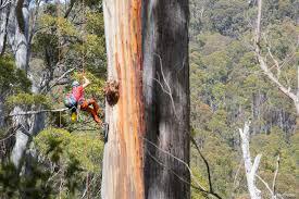 news petzl measuring the world s tallest trees petzl usa
