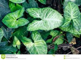 nephthytis u0027 beautiful leaves syngonium podophyllum cv u0027white