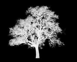 lonely white tree graphic isolated on black background stock