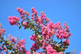 pink flowering tree to