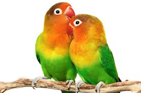 25 affectionate love birds pictures