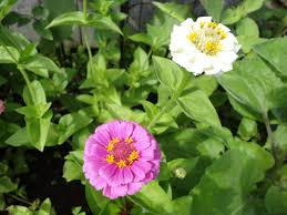 zinnias flowers growing guide zinnias i moved visit my new website