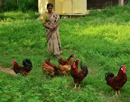 Backyard Poultry In India A New Variety Of For Rural Community The Hindu