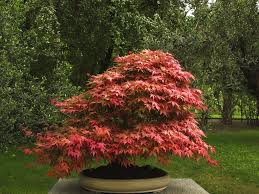 plants native to japan make a japanese maple bonsai tree japanese maple bonsai maple