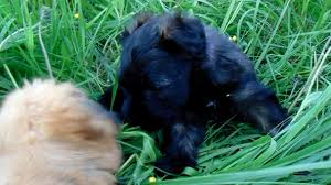 affenpinscher reviews puppy jayden from celebritypups com youtube