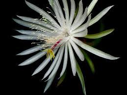 flower blooming night blooming flowers hgtv