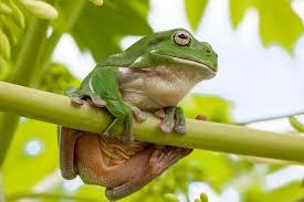magnificent tree frog habitat diet reproduction