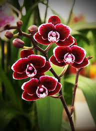 orchid flowers miniature phalaenopsis orchid individual flowers are the