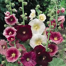 hollyhock flowers hollyhock seeds 37 hollyhocks perennial flower seeds