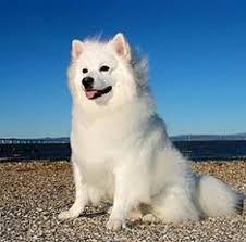 american eskimo dog brown 11 dogs that look like a fox pethelpful