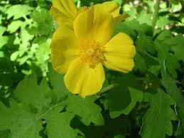buy native grow native indiana celandine poppy wildflowers u2013 growing celandine plants in the garden