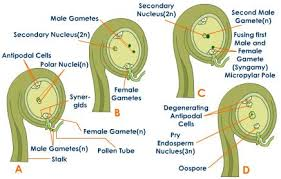 Reproduction In Flowering Plants - plant fertilization post fertilization in flowering plants