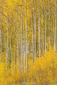 Wall Mural White Birch Trees Forest Wall Murals Tree Murals At Magicmurals Com