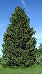 green douglas fir pseudotsuga menziesii viridis