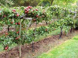 Planting Fruit Trees In Backyard Best 25 Espalier Fruit Trees Ideas On Pinterest Fruit Trees