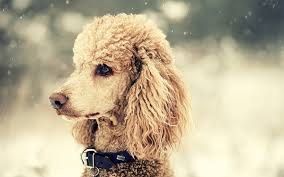 dogs with curly hair and floppy ears 10 friendly breeds of dogs with big floppy ears updated list
