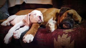 8 month old boxer dog weight boxer dog breed information pictures characteristics u0026 facts