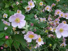 how to grow japanese anemones grow anemones