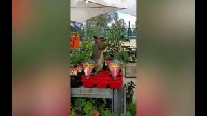 Backyard Chicken Coops Brisbane by Brisbane Bunnings Possum Caught Again Eating Strawberries Youtube