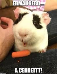 Ermahgerd Meme Maker - guinea pig imgflip
