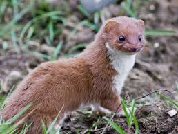facts about weasels