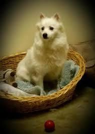 american eskimo dog adoption glenburn me american eskimo dog mix meet sy a dog for