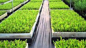 certified blueberry plants dimeo blueberry farm nursery youtube