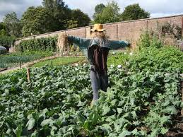scarecrow in the vegetable garden david mcmumm geograph