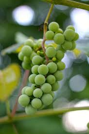 54 best growing grapes images on pinterest growing grapes grape