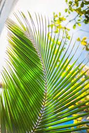 palm leaves for palm sunday palm leaves background beautiful tree palm sunday stock photo