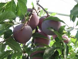 What Fruit Trees Grow In Texas - greenhouse fruit production in west texas dave wilson nursery