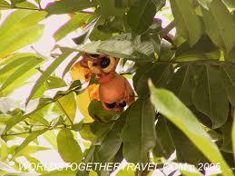 Ackee Fruit Tree - jamaican rundung ital recipe