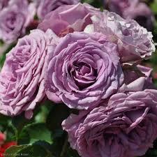 silver roses arborose silver bush lush lavender purple climbing