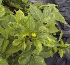 Symptoms Of Viral Diseases In Plants - lynch creek dahlias dahlia diseases viruses unpleasant surprises