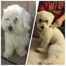 Dog Grooming Styles Haircuts Maplestory Female Hairstyles Hair Is Our Crown