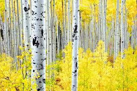 colorful leaves of colorados aspen trees