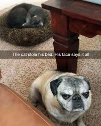 Sneaky Cat Meme - 15 cat bullies steal beds from their dog pals