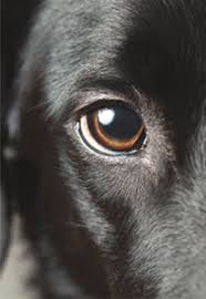 Blind Dog Eye Discharge Spotting Eye Problems In Pets Tufts Now