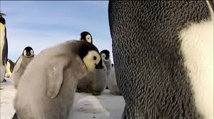 penguins spy in the huddle about nature pbs
