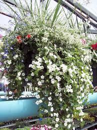 lindennursery com greenhouse bedding plants annuals