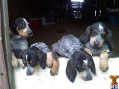 bluetick coonhound florida treeing walker coonhound look at those eyes coonhounds u0026 other