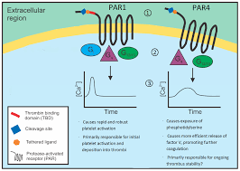 ijms free full text differential signaling by protease