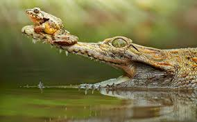 crocodile hd wallpapers earth blog