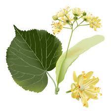 linden flower linden tea health benefits nectar of herbs for health